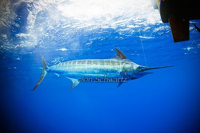 Jon schwartz 39 s blog fishing big fish photography and travel for Big blue fish