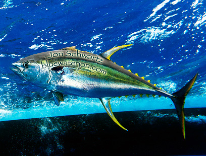 Jon schwartz 39 s blog fishing big fish photography and for What do tuna fish eat