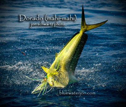 below is a recent cover shot of mine of a dorado that my friend caught