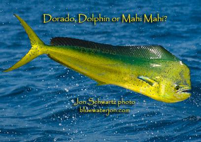 Mahi Mahi Dolphin Fish | Jon Schwartz S Blog Fishing Big Fish Photography And Travel Mahi